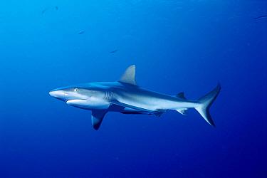 Grey Reef Shark (Carcharhinus amblyrhynchos), Coral Sea, Australia  -  Fred Bavendam
