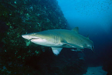 Grey Nurse Shark (Carcharias taurus), New South Wales, Australia  -  Fred Bavendam