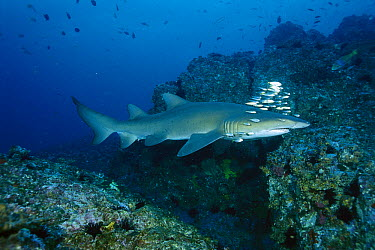 Grey Nurse Shark (Carcharias taurus) swimming over reef, New South Wales, Australia  -  Fred Bavendam