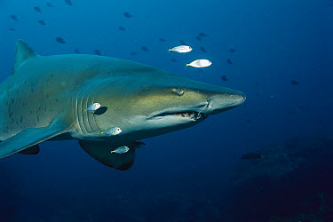 Grey Nurse Shark (Carcharias taurus) underwater portrait, New South Wales, Australia  -  Fred Bavendam