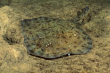 Thornback Skate (Raja lemprieri) camouflaged on ocean floor, Tasmania, Australia  -  Fred Bavendam