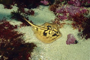 Crossback Stingaree (Urolophus cruciatus) on ocean floor, Tasmania, Australia  -  Fred Bavendam
