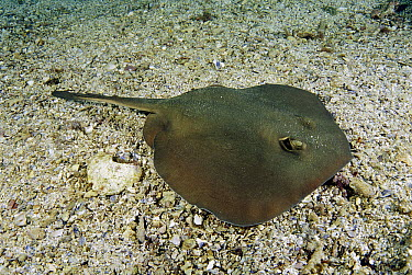 Common Stingaree (Trygonoptera testacea) on ocean floor, New South Wales, Australia  -  Fred Bavendam