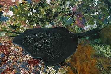 Speckled Stingray (Taeniura meyeni), Cocos Island, Costa Rica  -  Fred Bavendam