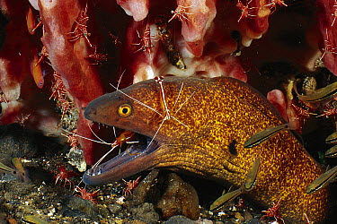 Yellow-edged Moray (Gymnothorax flavimarginatus) being cleaned by Scarlet Cleaner Shrimp (Lysmata amboinensis), Bali, Indonesia  -  Fred Bavendam