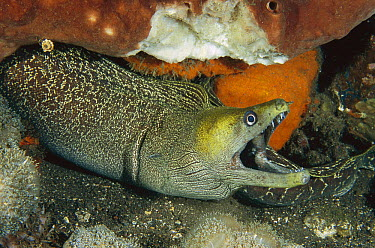 Common Hawaiian Moray (Gymnothorax undulatus), Bali, Indonesia  -  Fred Bavendam