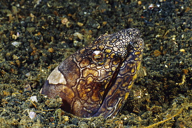 Napoleon Snake Eel (Ophichthus bonaparti) emerging from burrow, Bali, Indonesia  -  Fred Bavendam