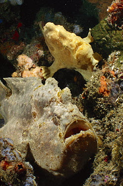 Commerson's Frogfish (Antennarius commersonii) pair, Lembeh Strait, Indonesia  -  Fred Bavendam