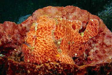 Commerson's Frogfish (Antennarius commersonii) camouflaged, Andaman Sea, Thailand  -  Fred Bavendam