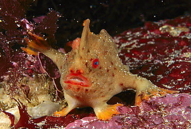 Red Handfish (Thymichthys politus) showing modified pectoral fins used for walking, Tasman Peninsula, Australia  -  Fred Bavendam