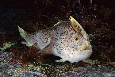 Handfish (Brachionichthys sp), Tasman Peninsula, Australia  -  Fred Bavendam