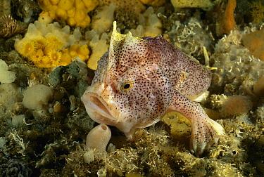 Handfish (Brachionichthys sp) showing modified pectoral fins used for walking, Tasman Peninsula, Australia  -  Fred Bavendam
