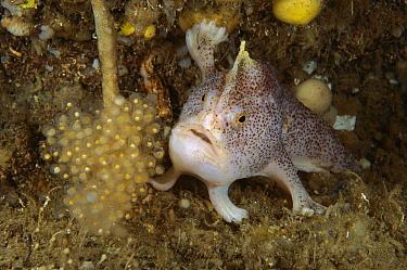 Handfish (Brachionichthys sp) guarding clutch of eggs showing modified pectoral fins used for walking, Tasman Peninsula, Australia  -  Fred Bavendam