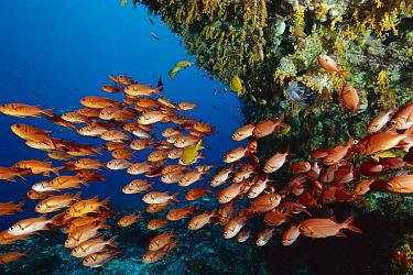 White-tipped Soldierfish (Myripristis vittata) school, Nusa Penida, Indonesia  -  Fred Bavendam