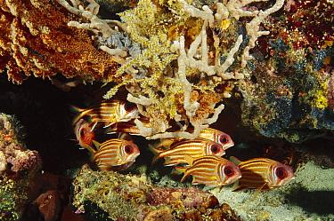 Redcoat Squirrelfish (Sargocentron rubrum) group camouflaged against reef, Indonesia  -  Fred Bavendam