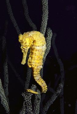 Long-snouted Seahorse (Hippocampus reidi), Bonaire, Caribbean  -  Fred Bavendam