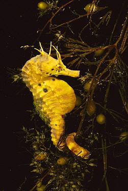Big-bellied Seahorse (Hippocampus abdominalis) clinging to seaweed, Tasman Peninsula, Australia  -  Fred Bavendam