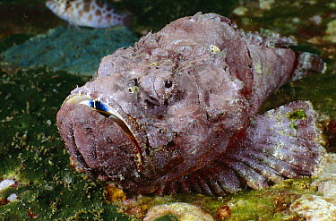 Devil Scorpionfish (Scorpaenopsis diabolus), Andaman Sea, Thailand  -  Fred Bavendam