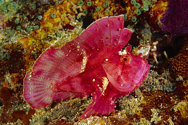 Leaf Scorpionfish (Taenianotus triacanthus), Indonesia  -  Fred Bavendam