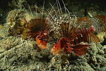 Spotfin Lionfish (Pterois antennata) pair, Milne Bay, Papua New Guinea  -  Fred Bavendam