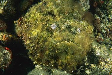 Esturine Stonefish (Synanceia horrida), Lembeh Strait, Indonesia  -  Fred Bavendam
