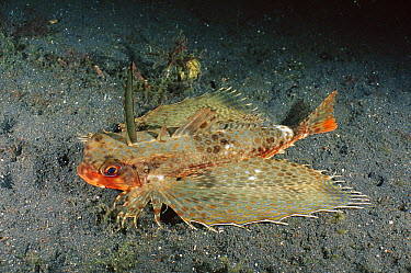Oriental Flying Gurnard (Dactyloptena orientalis) showing nocturnal coloration, Lembeh Strait, Indonesia  -  Fred Bavendam