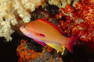 Sea Goldie (Pseudanthias squamipinnis) male, Fiji  -  Fred Bavendam