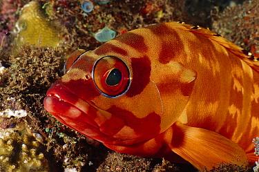 Banded Reef Cod (Epinephelus fasciatus), Bali, Indonesia  -  Fred Bavendam