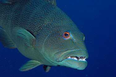 Leopard Grouper (Plectropomus leopardus) showing teeth, Great Barrier Reef, Australia  -  Fred Bavendam