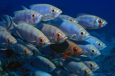 Crescent-tail Bigeye (Priacanthus hamrur) school, Lizard Island, Great Barrier Reef, Australia  -  Fred Bavendam