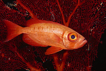 Crescent-tail Bigeye (Priacanthus hamrur) in front of a sea fan, Uepi Island, Solomon Islands  -  Fred Bavendam