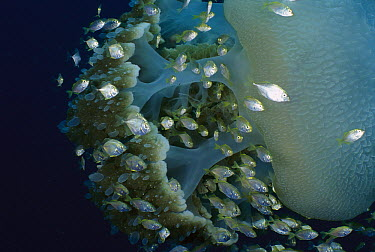 Cavalla (Caranx sp) juveniles using a Blue Jelly (Catostylus mosaicus) as a shelter from predators, Andaman Sea, Burma  -  Fred Bavendam