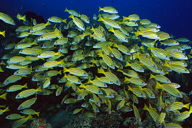 Bluestripe Snapper (Lutianus kasmira) school, Great Barrier Reef, Australia  -  Fred Bavendam