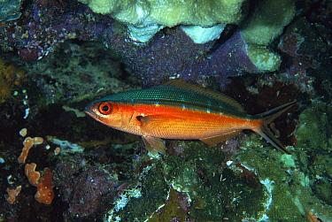 Bluestreak Fusilier (Pterocaesio tile) showing nocturnal coloration, Manado, Indonesia  -  Fred Bavendam
