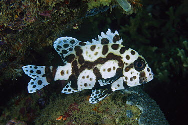 Spotted Sweetlips (Plectorhinchus chaetodonoides) juvenile, Lembeh Strait, Indonesia  -  Fred Bavendam