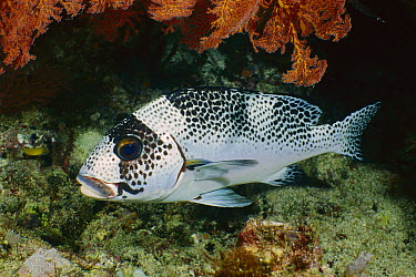 Spotted Sweetlips (Plectorhinchus picus), Gili Islands, Indonesia  -  Fred Bavendam
