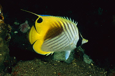 Cross-stripe Butterflyfish (Chaetodon auriga) showing nocturnal coloration, Bali, Indonesia  -  Fred Bavendam