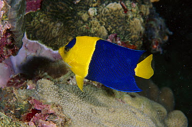 Blue And Gold Angelfish (Centropyge bicolor), Manado, Indonesia  -  Fred Bavendam