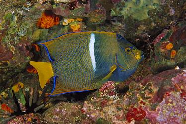 King Angelfish (Holacanthus passer), Galapagos Islands, Ecuador  -  Fred Bavendam