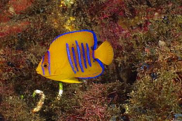 Clarion Angelfish (Holacanthus clarionensis) juvenile, Socorro Island, Mexico  -  Fred Bavendam