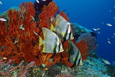 Dusky Batfish (Platax pinnatus) trio on reef, Gili Islands, Indonesia  -  Fred Bavendam