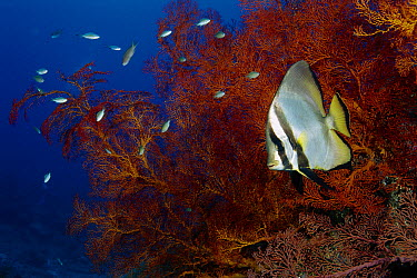Dusky Batfish (Platax pinnatus) on reef, Gili Islands, Indonesia  -  Fred Bavendam
