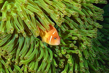 Pink Anemonefish (Amphiprion perideraion) in tentacles of Magnificent Sea Anemone (Heteractis magnifica), Kimbe Bay, Papua New Guinea  -  Fred Bavendam