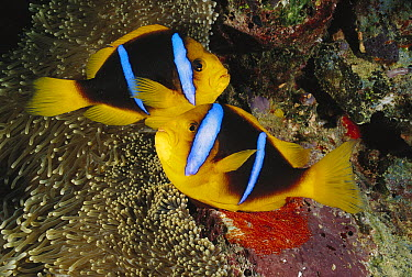 Orange-fin Anemonefish (Amphiprion chrysopterus) pair watching over eggs laid at base of sea anemone, Fiji  -  Fred Bavendam
