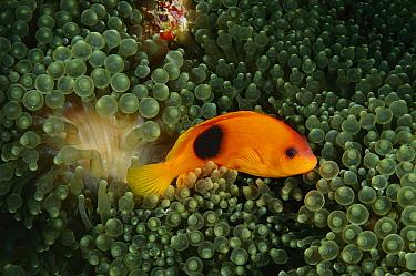 Red Saddleback Anemonefish (Amphiprion ephippium) in anemone tentacles, Andaman Sea, Thailand  -  Fred Bavendam