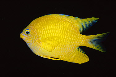 Golden Damselfish (Amblyglyphidodon aureus), Tonga  -  Fred Bavendam