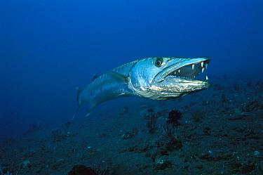 Great Barracuda (Sphyraena barracuda), Bali, Indonesia  -  Fred Bavendam