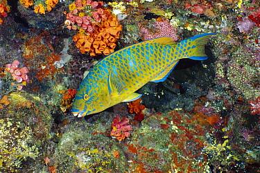 Blue-barred Parrotfish (Scarus ghobban), Andaman Sea, Thailand  -  Fred Bavendam