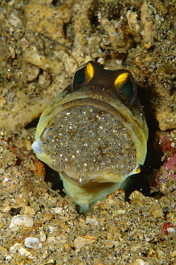 Spotfin Jawfish (Opistognathus sp) male protectively incubating clutch of eggs in its mouth, Manado, Indonesia  -  Fred Bavendam