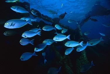 Elongate Surgeonfish (Acanthurus mata) schooling at ship wrek, Bali, Indonesia  -  Fred Bavendam